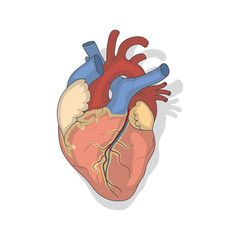 Anatomical Human heart.Realistic Vector illustration