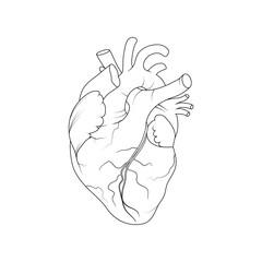 Anatomical Human heart.Realistic Vector illustration