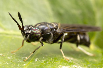 Soldier fly close up