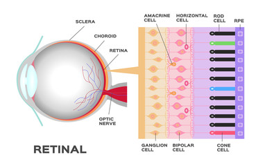 eye infographic: Photoreceptor in the retina of the eye. Structure and function rod and cone cells. Vector scheme