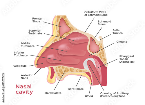 Nasal Cavity Vector Illustration Of Human Nose Diagram Inside Of