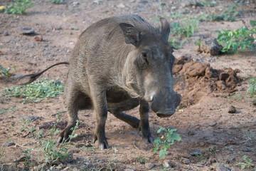 Warthog peeing, Botswana africa
