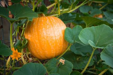 Healthy Pumpkin fruit in  vegetable garden