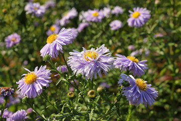 Aster amellus flowers