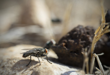 Fly with red eyes next to Dung