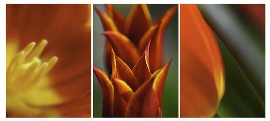 Orange Yellow Tulips Triptych Wall mural
