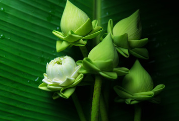 Lotus green background. Buddhist Day