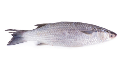 Grey Mullet or flathead mullet fish (Mugil cephalus) isolated on