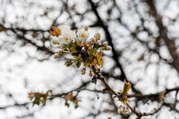 Blossoms of wild cherry tree on branches in spring