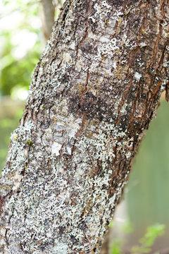 Plum tree bark