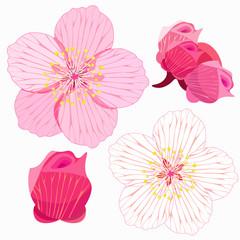 set of Sakura is blossom and bud.  illustration