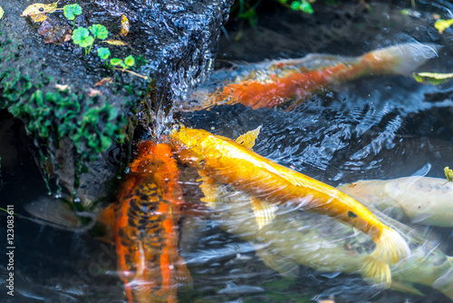 Few colorful koi carp under waterfall catching and eating for What do koi fish eat