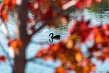 Black swan on the lake surrounded by autumn leaves. Selective focus on swan. Autumn background with water bird