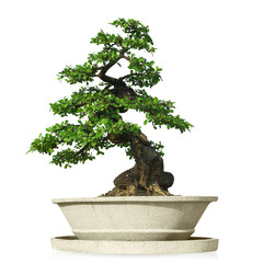 Photo sur Aluminium Bonsai bonsai tree isolated