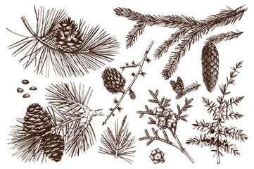 Vector collection of conifers illustration. Vintage evergreen plants sketch set - fir, pine, spruce, larch, juniper, cedar, cypress. Christmas decoration elements.