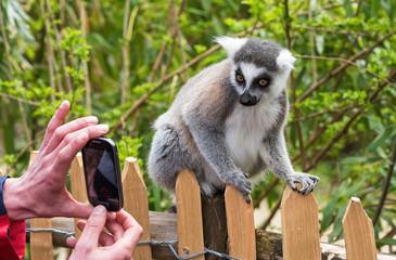 A zoo visitor photographs katta lemur on a smartphone, Netherlan
