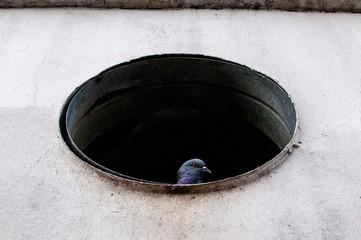 Pigeon dans un conduit