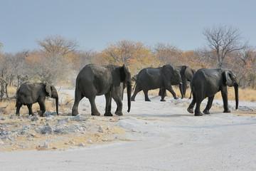 Elefanten überqueren die Straße (Etosha Nationalpark)