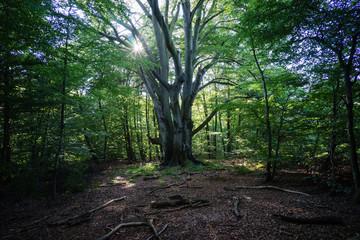 Bäume im deutschen Märchen- und Sagenwald: Reinhardswald in He