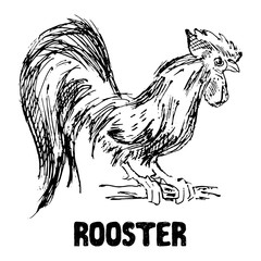 Rooster or cock bird. Hand drawn sketch vector illustration.
