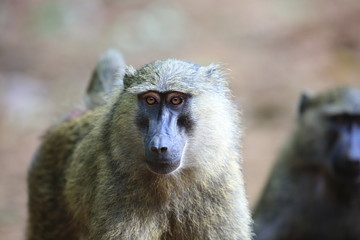 Olive baboon or Anubis baboon (Papio anubis) in Kibale national Park,Uganda