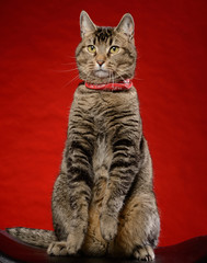 Cat sitting in front of a red background