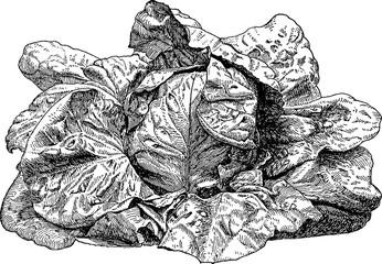 Vintage image salad lettuce