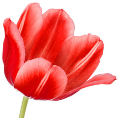 red tulip flower head isolated on white background