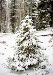 Snow covered small tree in the forest