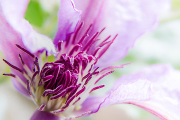 Photo Blinds Nature Close-up van een clematis