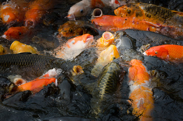 Koi fishes scrambled for the food pellet
