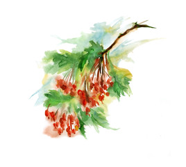 Watercolor branch viburnum, mountain ash, red berry is not an isolated white background.