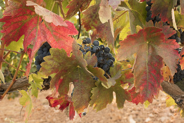 Photo of wine grapes with autumn leaves in vineyard