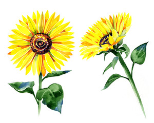 set of isolated watercolor sunflowers