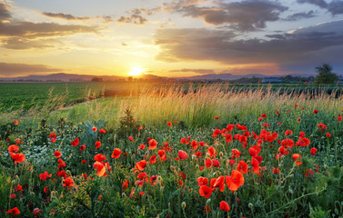 Foto op Canvas Poppy Vivid poppy field