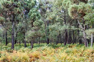 Bosque de helechos, robles y pinos.