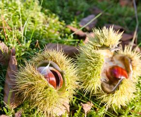Wald im Herbst: essbare Kastanien, Maronen in Schale :)