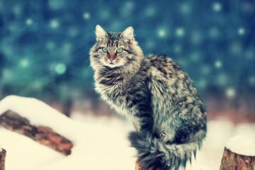 Siberian long hair cat sitting in the garden in winter night