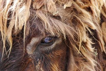 Kopf von Poitou-Esel