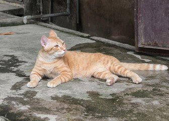 Orange cat  on the floor and resting. Cat Thailand beautiful