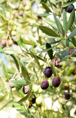 Olive tree branch with purple  berries on blurred background