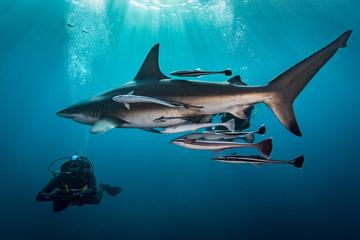 Man diving next to shark