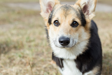 Portrait of a Welsh Corgi. Close-up. The photo was taken in the morning.