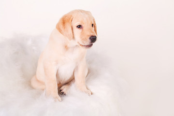Cream Labrador puppy, 14 weeks old, sitting in front of white background, studio shot