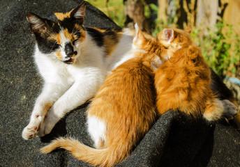 Mother cat feeding kittens