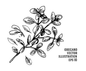 Fototapeta Vector hand drawn oregano illustration. Vintage oregano flower sketch. obraz