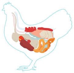 Vector chicken anatomy. digestive system.
