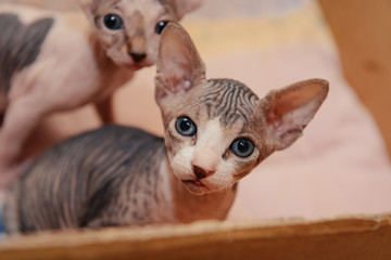 Sphinx cat with his brothers