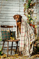 Rhodesian Ridgeback with a plaid in autumn decorations