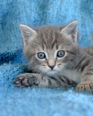 cute tabby kitten portrait lying down